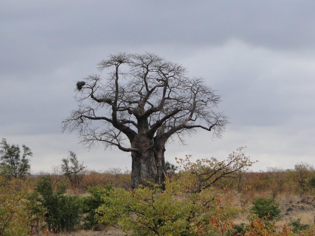 Baobab au nord du Parc Krüger (Afrique du Sud)